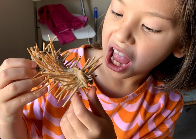 1st grade student Estella looks at her homemade school project - a porcupine made of toothpicks and a piece of steak